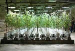 hidropcannabis